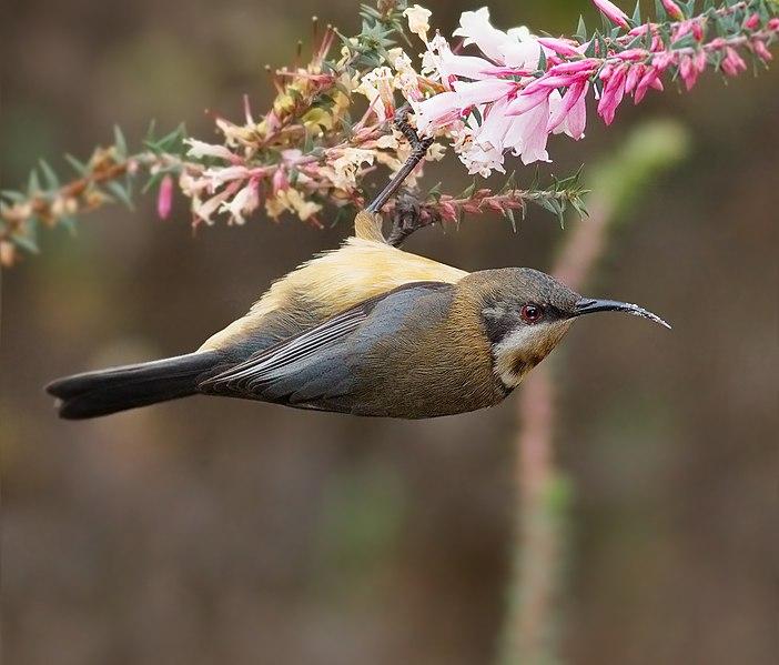 File:Acanthorhynchus tenuirostris female.jpg