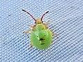 Acanthosoma haemorrhoidale (Acanthosomatidae) (Hawthorn Shield Bug) - (nymph), Arnhem, the Netherlands.jpg