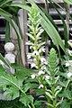 Acanthus mollis 2zz.jpg