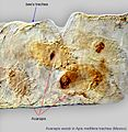 Acarapis-woodi-in-Apis-mellifera-trachea-Mexico.jpg