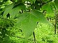 Acer longipes.jpg
