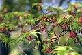 Acer palmatum Seiryu 0zz.jpg