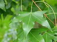 Acer truncatum Leaf