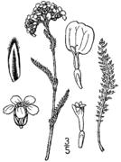 Achillea millefolium borealis drawing.png