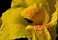 Achira (Canna indica) - Flickr - Alejandro Bayer (13).jpg