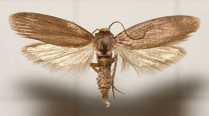 Waxworm - Adult specimen of the lesser wax moth (Achroia grisella)
