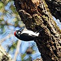 Acorn Woodpecker (5181111405).jpg