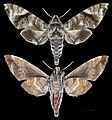 Acosmeryx shervillii MHNT CUT 2010 0 24 Taiping Perak Malaisia female.jpg