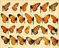 AcraeaSpecies.jpg