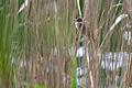 Acrocephalus arundinaceus Beetzer See 10.05.2014 16-01-048.jpg