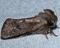 Acrolophus plumifrontella - Eastern Grass Tubeworm Moth-EasternGrass-tubewormMoth2013-06-16b zps4f332608 (16053873762).jpg