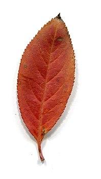 Adaxial side. Leaves of trees in autumn.jpg