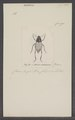 Adesmia - Print - Iconographia Zoologica - Special Collections University of Amsterdam - UBAINV0274 027 03 0002.tif