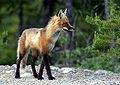 Adult fox.JPG