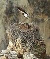 Adult osprey landing (21635550279).jpg