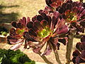 Aeonium arboreum on flowers exibition.jpg