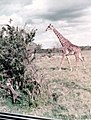 Africa tour 1973 - Giraffe in Tanzania.jpg