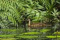African Finfoot juv at a pool - Ankasa - Ghana 14 S4E2168 (16010113300).jpg