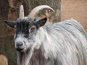 African Pygmy Goat 003.jpg