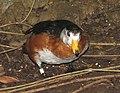 African Pygmy Goose.jpg