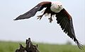 African fish eagle, Haliaeetus vocifer, at Chobe National Park, (33489376712).jpg