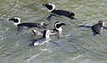African penguin, Spheniscus demersus, at Stony Point, Betty's Bay, Western Cape, South Africa (25142142792).jpg