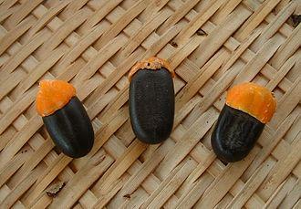 Elaiosome - Afzelia africana seeds bearing orange elaiosomes