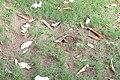 Agama femelle ponte d'œufs 01.jpg