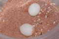 Agamura persica eggs.png