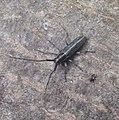 Agapanthia cardui longhorn beetle.jpg