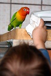 Companion parrot - Wikipedia
