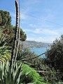 Agave floral stem (villa Hanbury, Italy).jpg