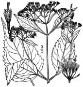 Ageratina altissima roanensis drawing.png