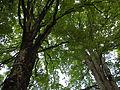 Ahornbäume BurgKaprun 04.JPG