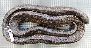 Aipysurus apraefrontalis - Museum specimen