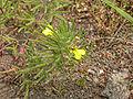 Ajuga chamaepitys pelouse-chezy-sur-marne 02 29052005 2.JPG