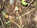 Akebia trifoliata (Thunb.) Koidz (AM AK305229-3).jpg