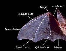 Morfologia dell'ala di un pipistrello