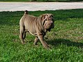 Alaine the Shar-Pei.jpg