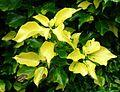 Albinism in variegated Hedera helix.JPG