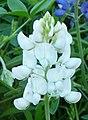 Albino white bluebonnet.jpg