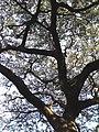 Albizia adianthifolia canopy.JPG