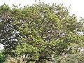 Albizia saman (Raintree) (13).jpg