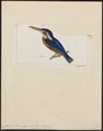 Alcedo verreauxi - 1820-1863 - Print - Iconographia Zoologica - Special Collections University of Amsterdam - UBA01 IZ16800203.tif