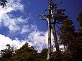 Alerce por camino al refugio del volcán Llaima en Parque Nacional Conguillio (febrero 2011) - panoramio.jpg