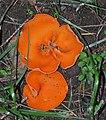 Aleuria aurantia (Orange Peel Fungus).JPG