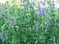Alfalfa--Luzerne.jpg