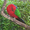 Alisterus amboinensis -Taman Mini Indonesia Indah-6a-2c.jpg