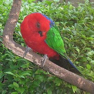 Moluccan king parrot - At the bird park in Taman Mini Indonesia Indah