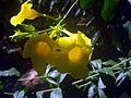 Allamanda cathartica flowers 5.JPG
